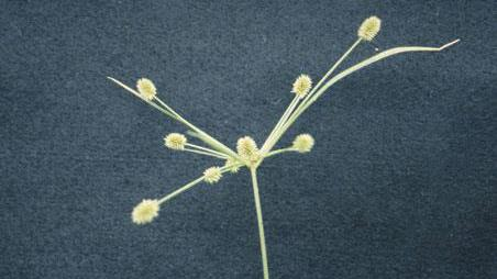 Thumbnail image for Cylindric Sedge