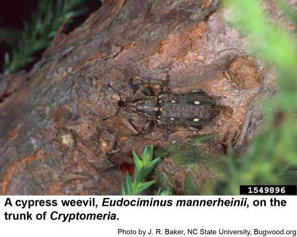 Thumbnail image for Cypress Weevil