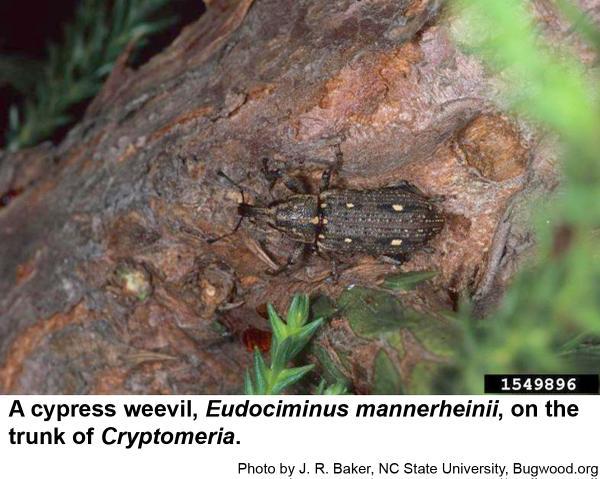 Cypress weevil