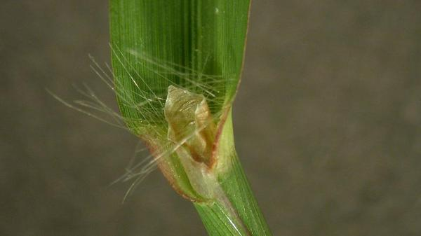Dallisgrass auricle