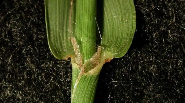 Dallisgrass ligule