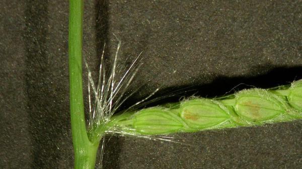 Dallisgrass seedhead