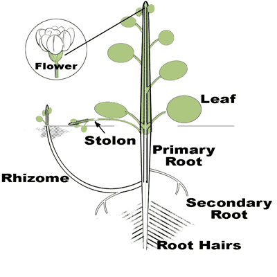 Drawing of a broadleaf plant structure
