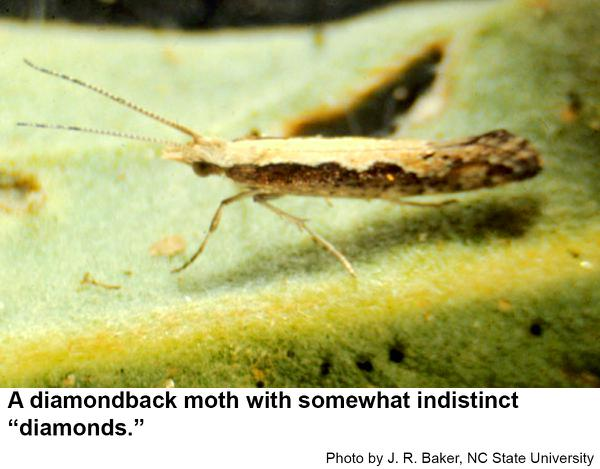 Diamondback moths