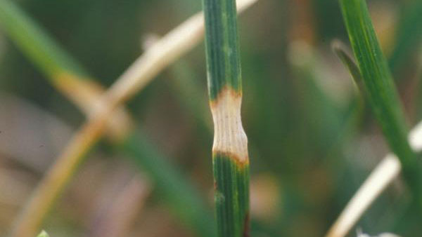 Dollar Spot foliar symptoms.