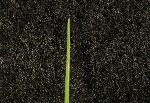 Figure 4. Bermudagrass leaf blade.