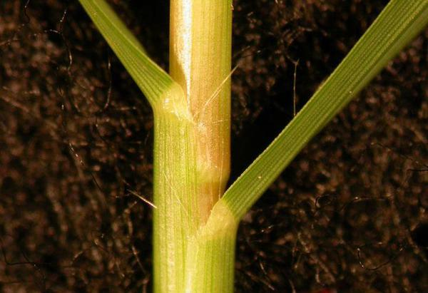 Figure 7. Bermudagrass collar.