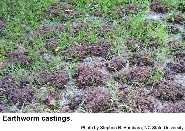 Figure 2. Bumpy lawn due to earthworm castings.
