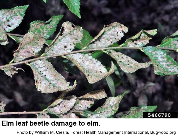 Elm leaf beetles sometimes cause extensive defoliation.