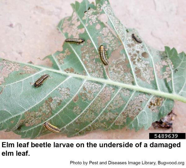 Elm leaf beetle larvae skeletonize elm leaves