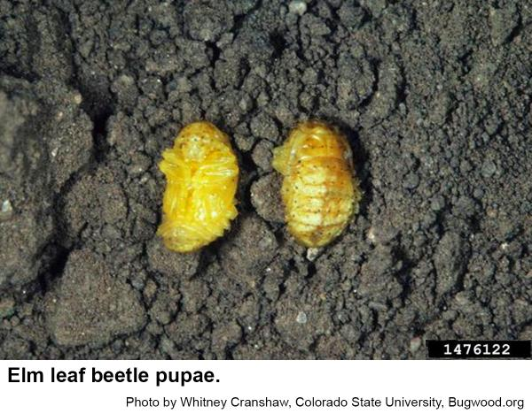 Elm leaf beetle pupae are yellow to orange.