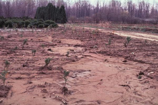 A field of junipers with eroded soil due to localized flooding