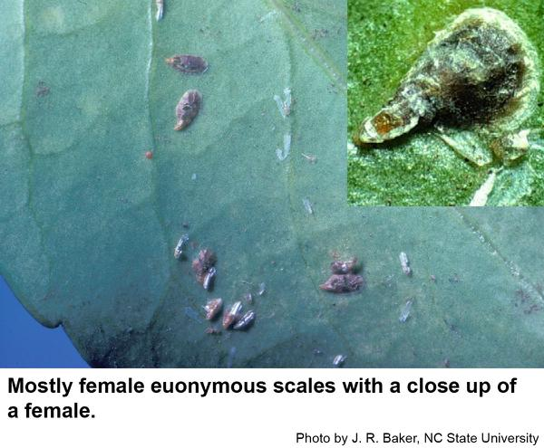 Euonymus scale females have oystershell-shaped armor.