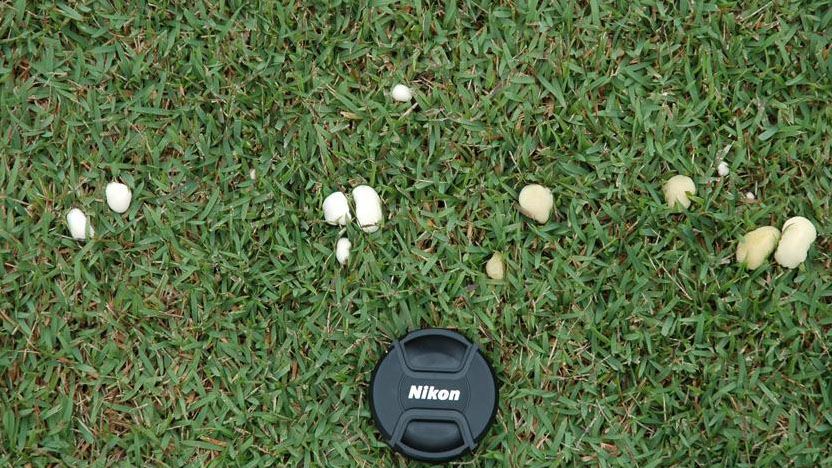 Fairy ring fungal symptoms