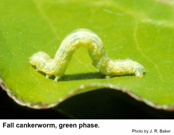Fall cankerworm green phase.