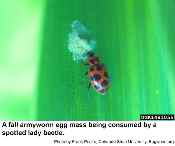 A lady beetle feeding on fall armyworm eggs