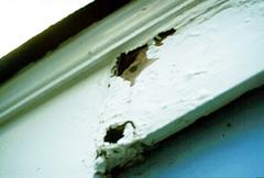Figure 4. Carpenter ant damage.