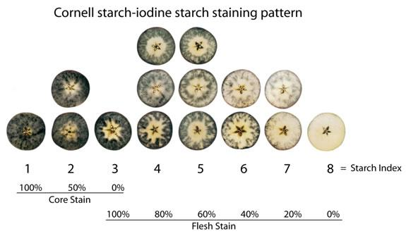 Starch iodine staining pattern used to determine apple maturity.