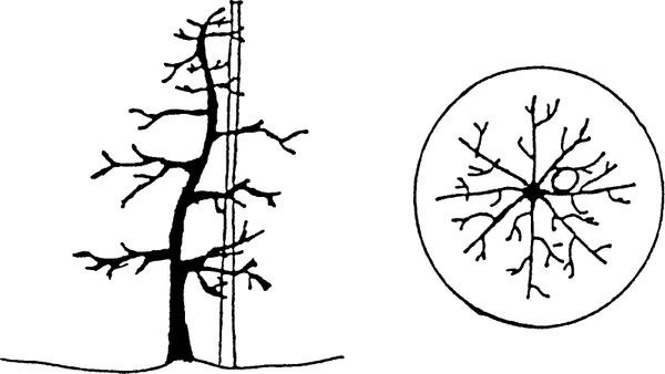 Thumbnail image for High-Density Apple Orchard Management Techniques