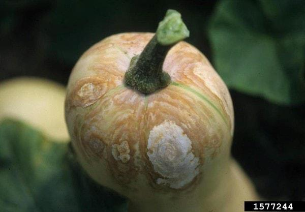 disease symptoms on squash fruit
