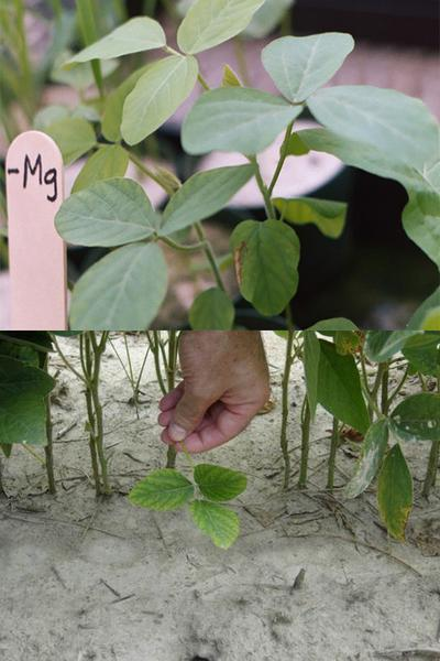 Figure 6-7. Magnesium deficiency induced in greenhouse plants (t