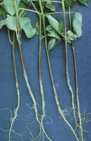 "Photo of cotton seedlings with ""sore shin"" phase of disease"