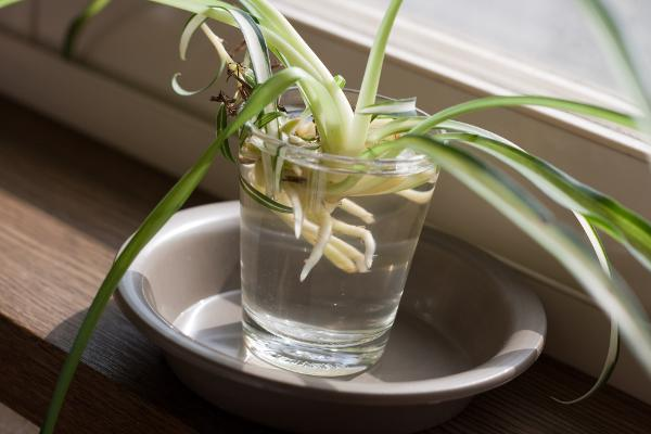 Do spider plants reproduce asexually