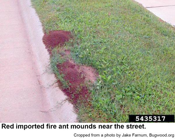f red imported fire ant mounds