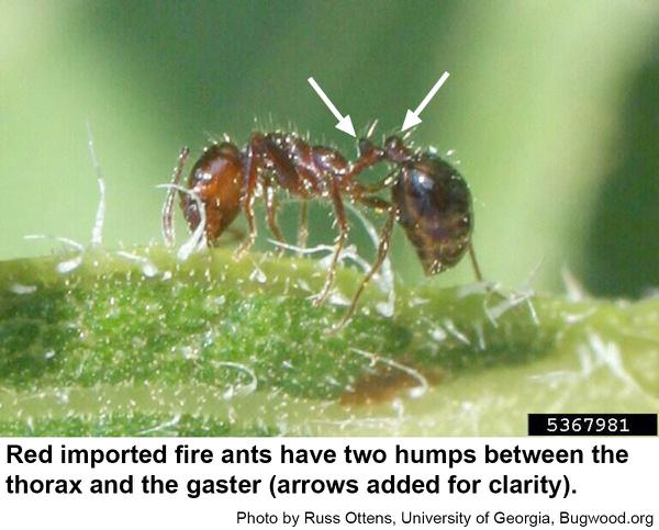 Fire ants have two nodes or humps
