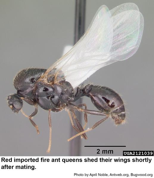 Red imported fire ant queens l
