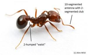 Photo of a red imported fire ant worker.