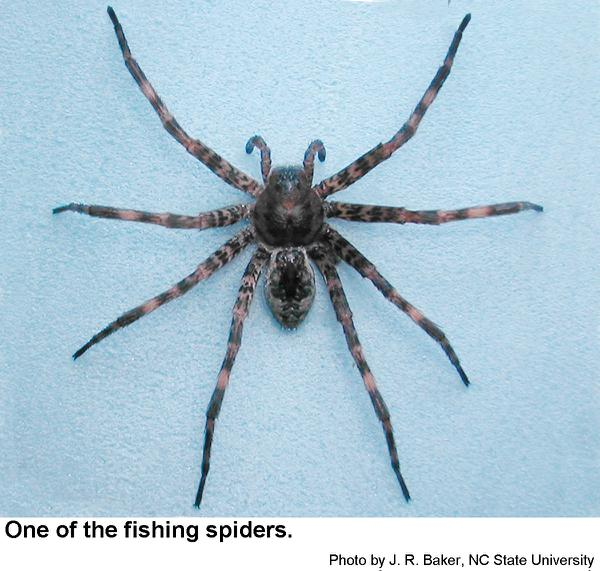Fishing Spiders And Wolf Spiders Nc State Extension Publications