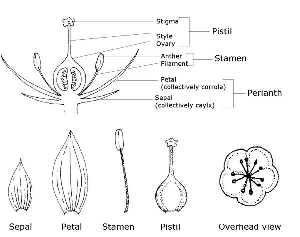 Raspberry Flower Diagram With Parts Labeled Complete Wiring Diagrams