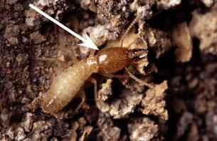 Thumbnail image for Formosan Termites in North Carolina