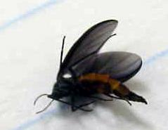 Thumbnail image for Fungus Gnats Indoors