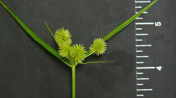 Figure 3. Globe sedge close-up.