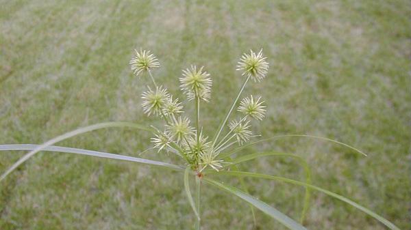 Figure 1. Globe sedge seedhead.