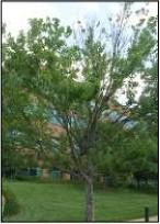 Figure 2. Maple tree infested with gloomy scale.