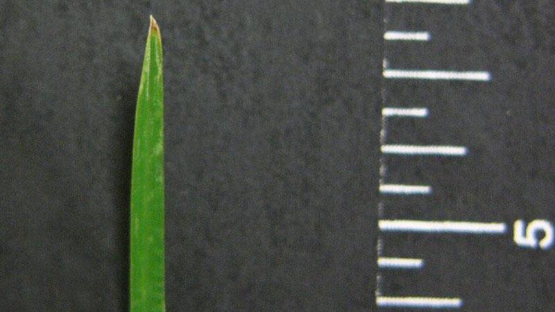 Goosegrass leaf blade tip shape