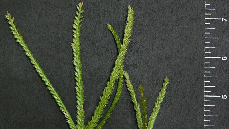Goosegrass seedhead