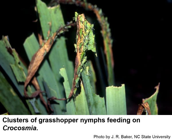Very young grasshoppers often feed in clusters.