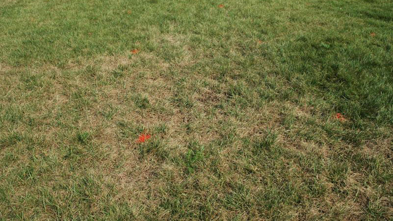 Gray leaf spot stand symptoms