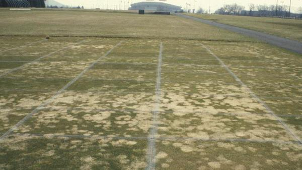 Thumbnail image for Gray Snow Mold in Turf