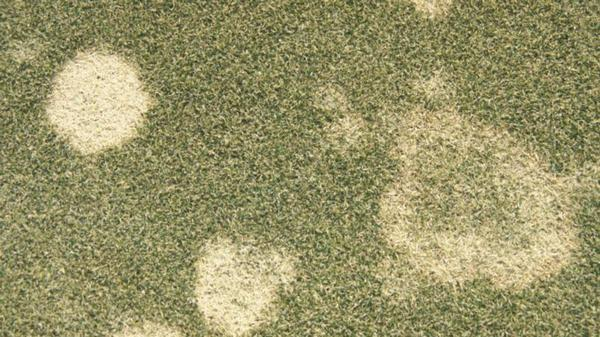 Gray snow mold stand symptoms.