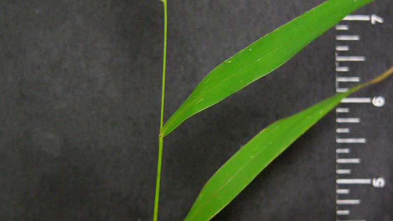 Green foxtail leaf blade width