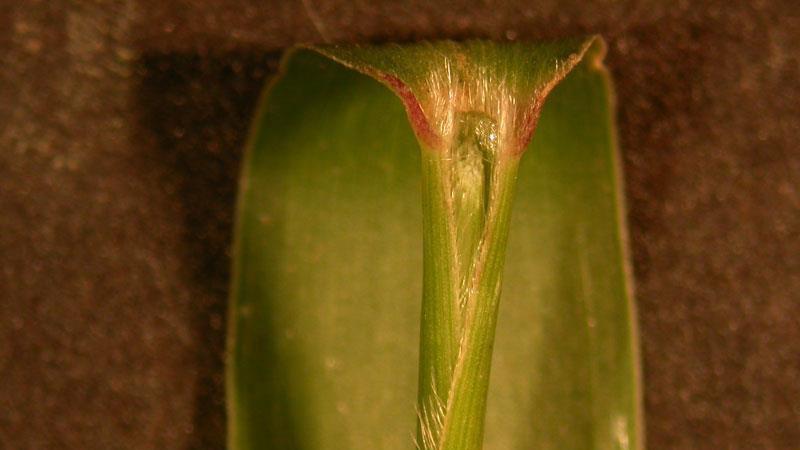 Green foxtail ligule
