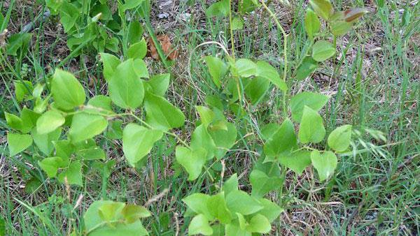 Greenbriar growth habit.