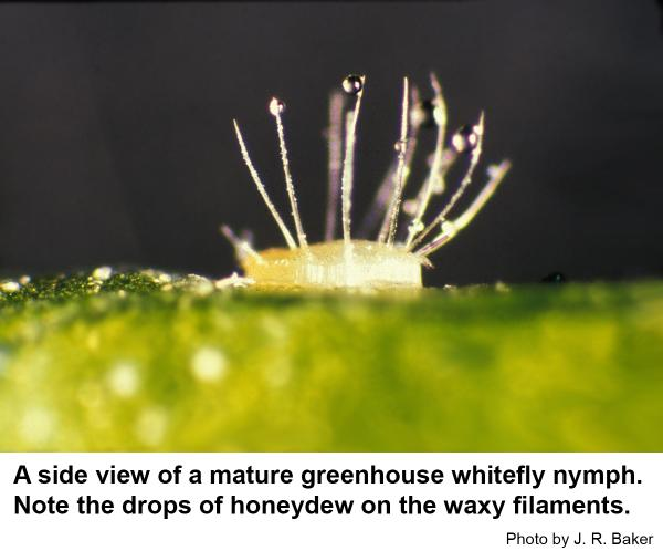 greenhouse whitefly pupa