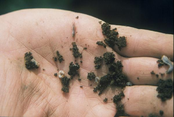 Figure 2. Young grubs.