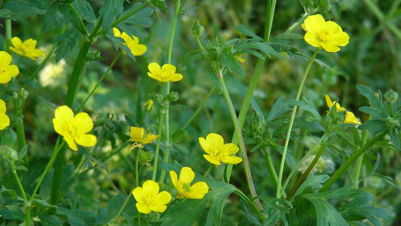 Hairy buttercup growth habit.